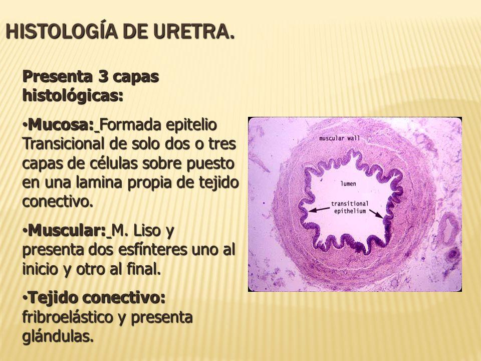 Presenta 3 capas histológicas: Mucosa: Formada epitelio Transicional de solo dos o tres capas de células sobre puesto en una lamina propia de tejido c