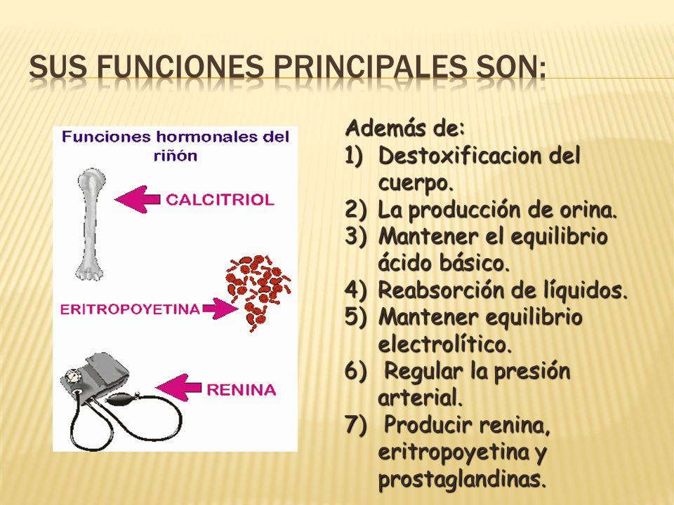 Además de: 1)Destoxificacion del cuerpo. 2)La producción de orina. 3)Mantener el equilibrio ácido básico. 4)Reabsorción de líquidos. 5)Mantener equili