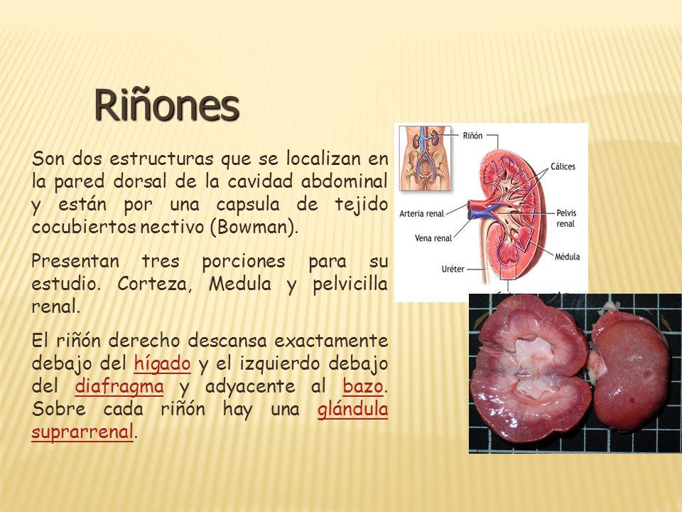 Riñones Son dos estructuras que se localizan en la pared dorsal de la cavidad abdominal y están por una capsula de tejido cocubiertos nectivo (Bowman)