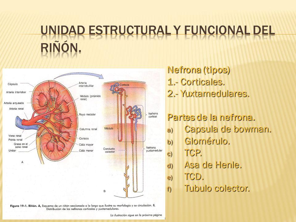 NEFRONA Las nefronas corticales: tienen un asa de Henle corta, que termina en la medular externa.