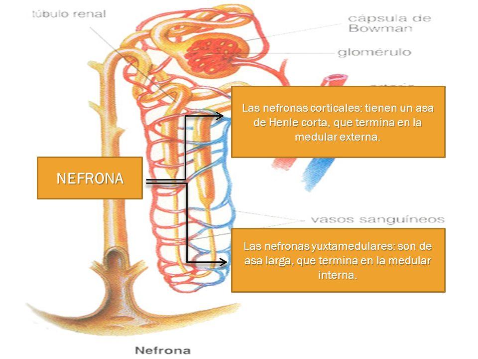 NEFRONA Las nefronas corticales: tienen un asa de Henle corta, que termina en la medular externa. Las nefronas yuxtamedulares: son de asa larga, que t
