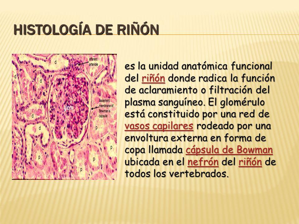 HISTOLOGÍA DE RIÑÓN es la unidad anatómica funcional del riñón donde radica la función de aclaramiento o filtración del plasma sanguíneo. El glomérulo