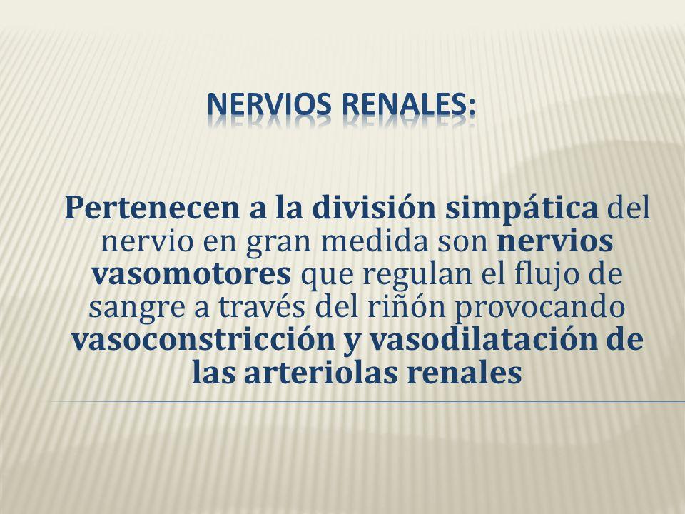 Nervios renales Se originan Ganglio celiaco y arterias Pasan a través Plexo renal hacia Riñones Produciendo vasoconstricción y vasodilatación