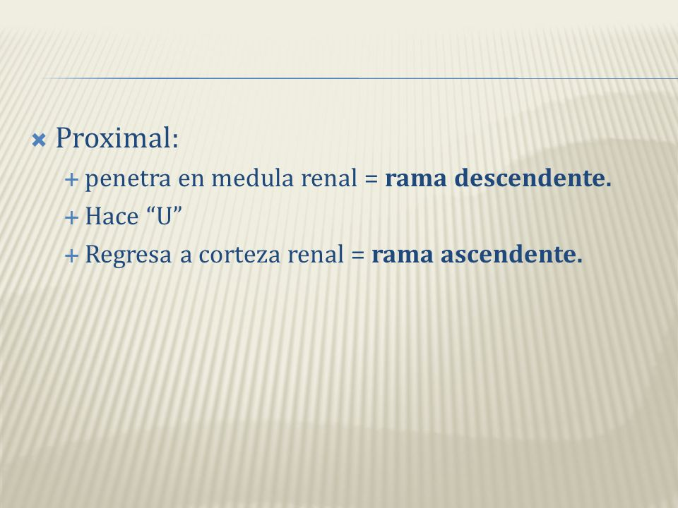 Extendida a medula renal, forma de U, regresa a corteza renal Conecta túbulos contorneados (proximal y distal)