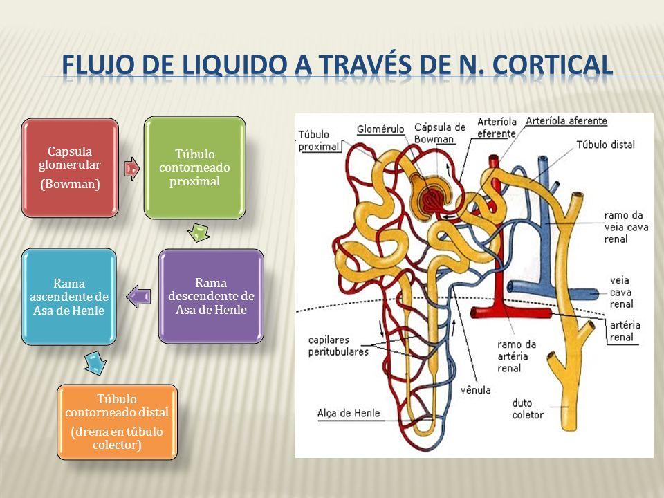 Corpusculos renales: en región externa de la corteza renal. Asas de Henle: cortas, en la corteza, atraviesan regio externa de la medula