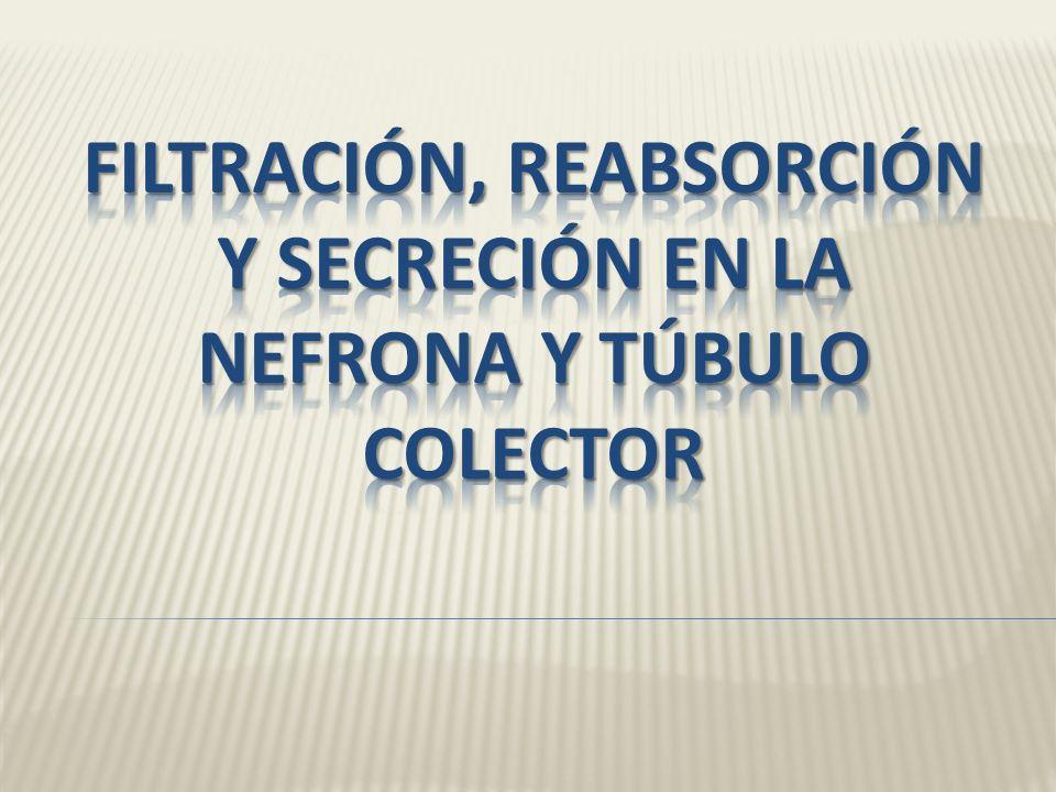 3.- Secreción tubular: Mientras el liquido fluye a través de túbulo renal y túbulo colector Las células secretan otras sustancias (desechos fármacos y
