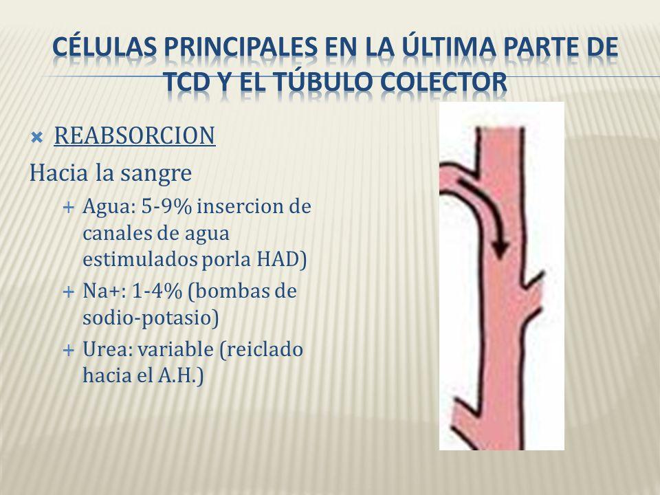 REABSORCION Hacia la sangre Agua: 10-15% (osmosis) Na+ y Cl- : 5% (contransportadores) Ca2+: variable (estimulando por la hormona paratiroidea)