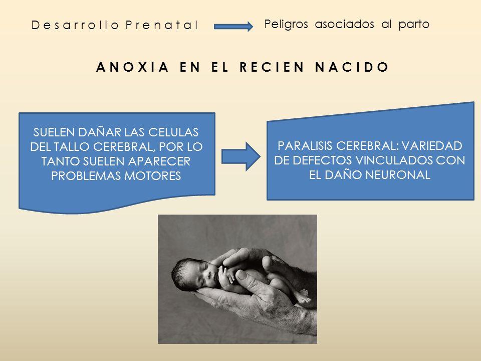 D e s a r r o l l o P r e n a t a l Peligros asociados al parto A N O X I A E N E L R E C I E N N A C I D O SUELEN DAÑAR LAS CELULAS DEL TALLO CEREBRA
