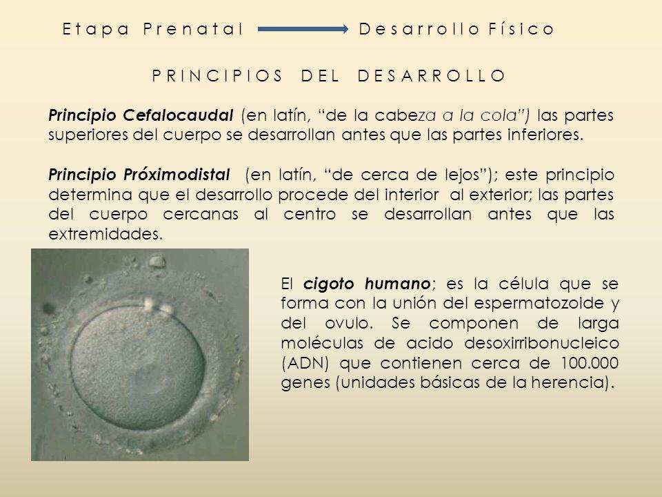 D e s a r r o l l o P r e n a t a lEtapas del desarrollo prenatal Etapas de desarrollo prenatal El desarrollo prenatal tiene lugar en tres etapas: Germinal, Embrionaria y Fetal.