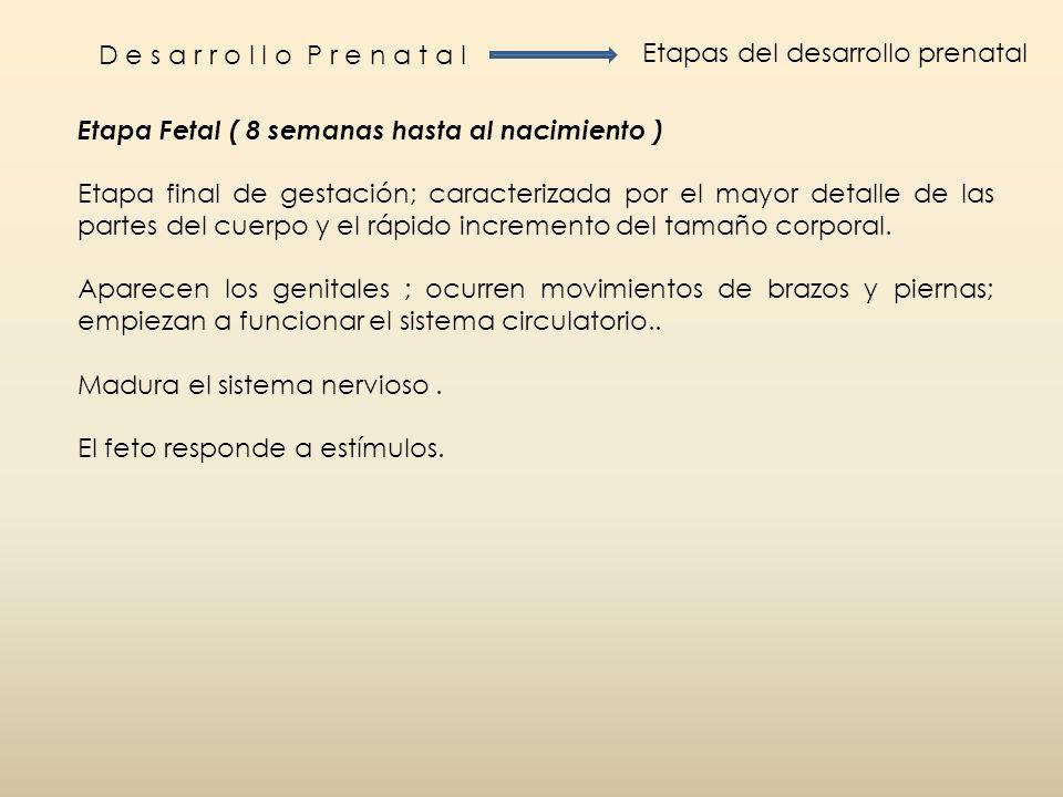 D e s a r r o l l o P r e n a t a l Etapas del desarrollo prenatal Etapa Fetal ( 8 semanas hasta al nacimiento ) Etapa final de gestación; caracteriza