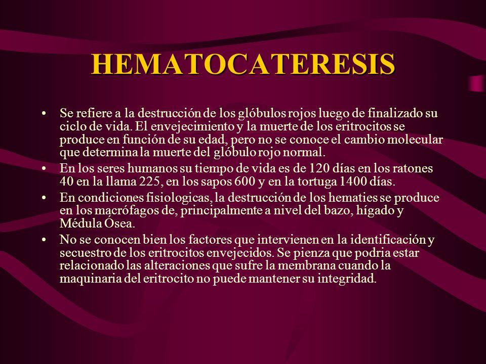 HEMATOCATERESIS Se refiere a la destrucción de los glóbulos rojos luego de finalizado su ciclo de vida. El envejecimiento y la muerte de los eritrocit