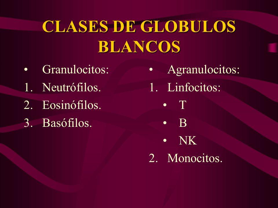 CLASES DE GLOBULOS BLANCOS Granulocitos: 1.Neutrófilos. 2.Eosinófilos. 3.Basófilos. Agranulocitos: 1.Linfocitos: T B NK 2.Monocitos.