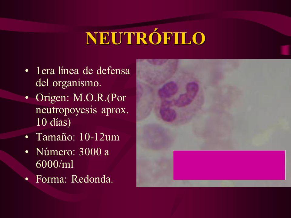 NEUTRÓFILO 1era línea de defensa del organismo. Origen: M.O.R.(Por neutropoyesis aprox. 10 días) Tamaño: 10-12um Número: 3000 a 6000/ml Forma: Redonda