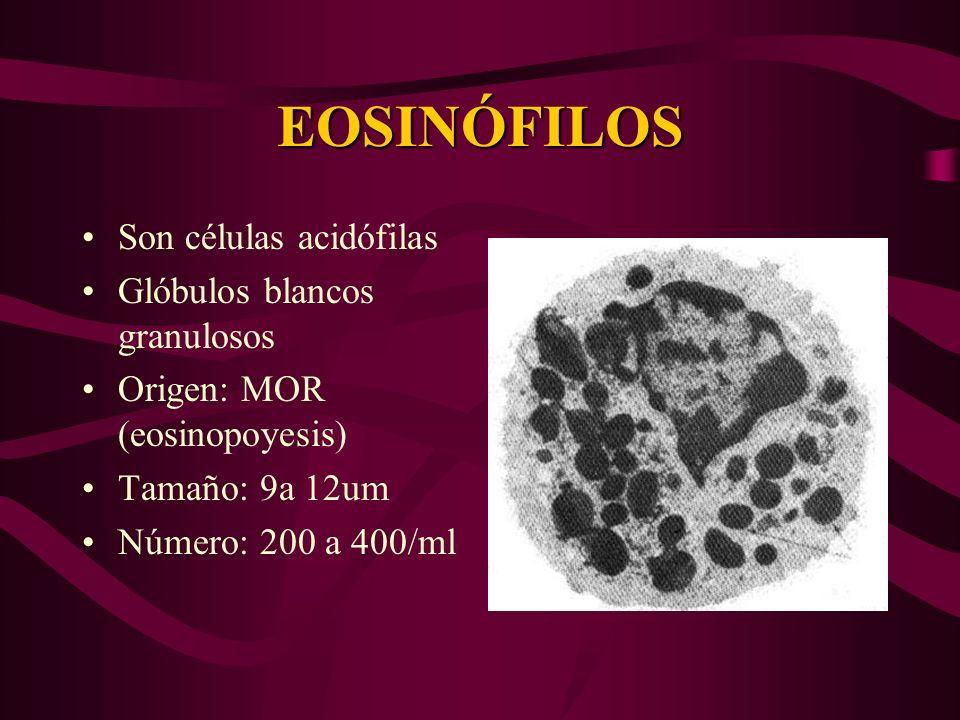 EOSINÓFILOS Son células acidófilas Glóbulos blancos granulosos Origen: MOR (eosinopoyesis) Tamaño: 9a 12um Número: 200 a 400/ml