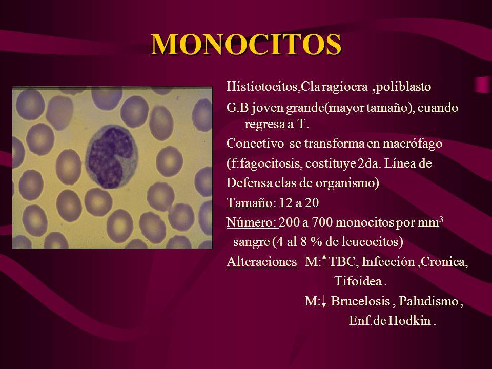 MONOCITOS Histiotocitos,Cla ragiocra, poliblasto G.B joven grande(mayor tamaño), cuando regresa a T. Conectivo se transforma en macrófago (f:fagocitos