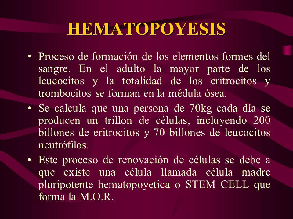 HEMATOPOYESIS Proceso de formación de los elementos formes del sangre. En el adulto la mayor parte de los leucocitos y la totalidad de los eritrocitos