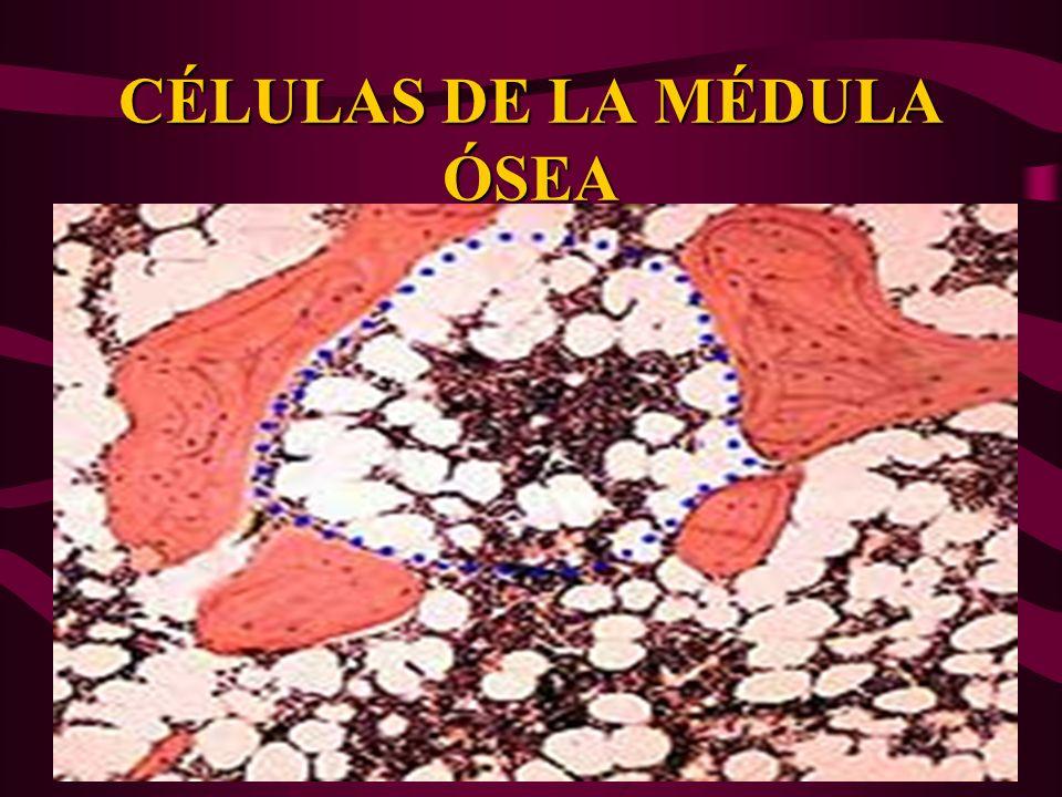CHT = célula totipotencial hematopoyética.UFC= unidad formadora de colonias.