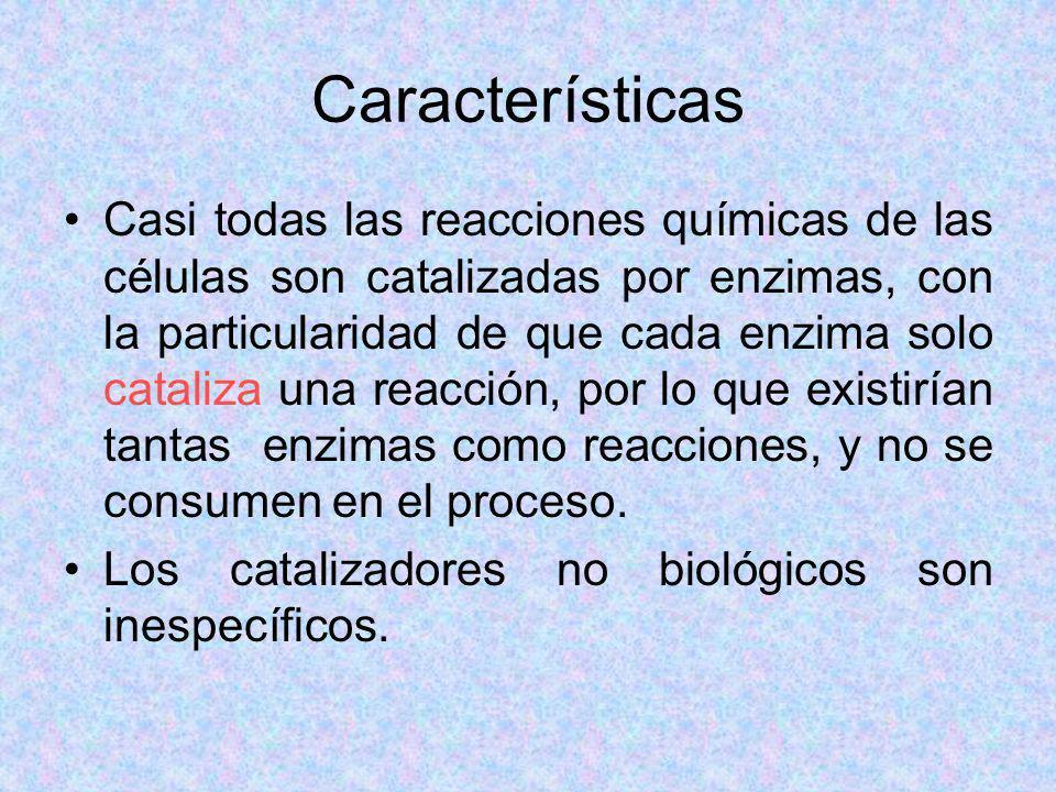 Características Casi todas las reacciones químicas de las células son catalizadas por enzimas, con la particularidad de que cada enzima solo cataliza