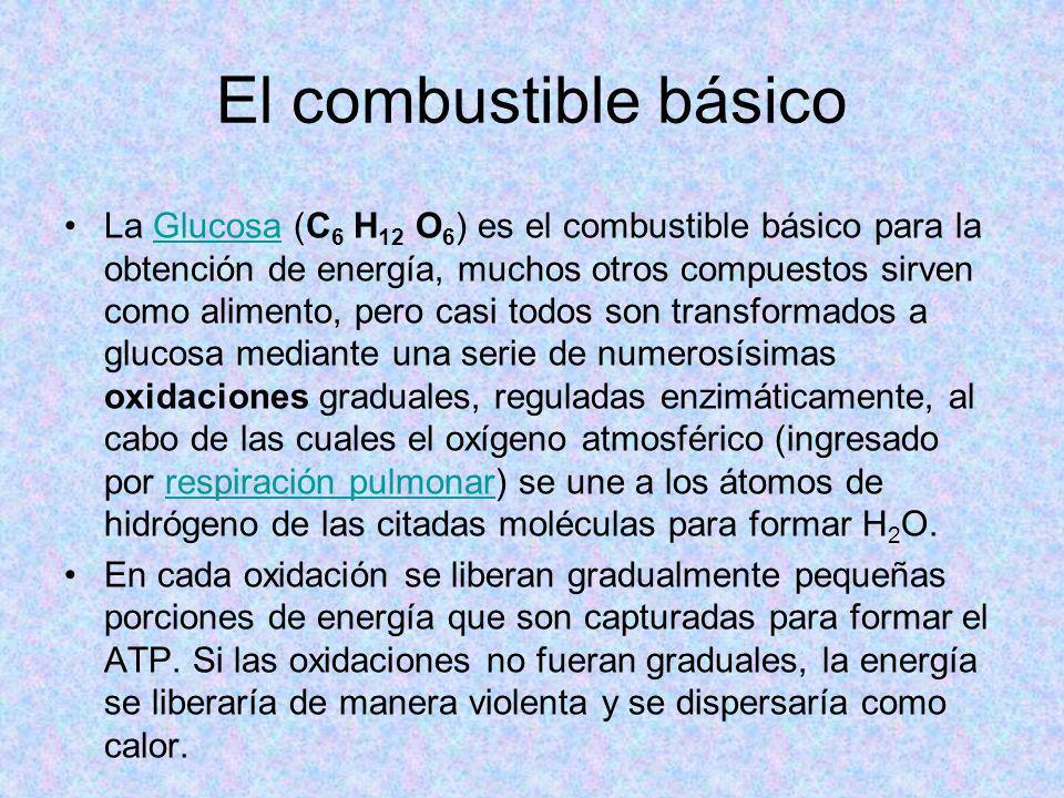 El combustible básico La Glucosa (C 6 H 12 O 6 ) es el combustible básico para la obtención de energía, muchos otros compuestos sirven como alimento,