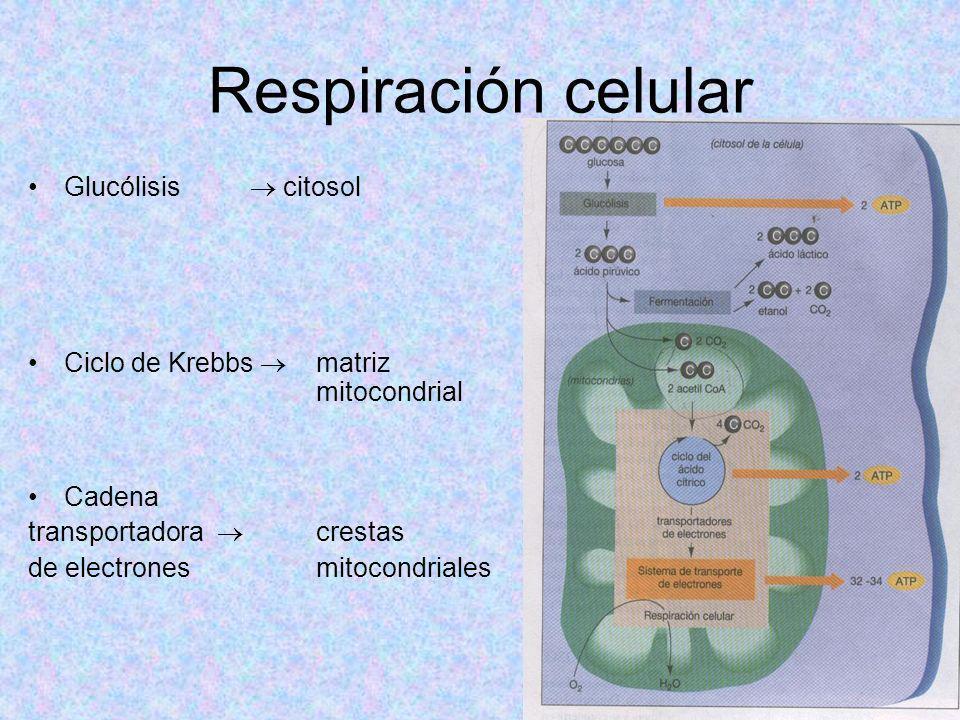 Respiración celular Glucólisis citosol Ciclo de Krebbs matriz mitocondrial Cadena transportadora crestas de electrones mitocondriales