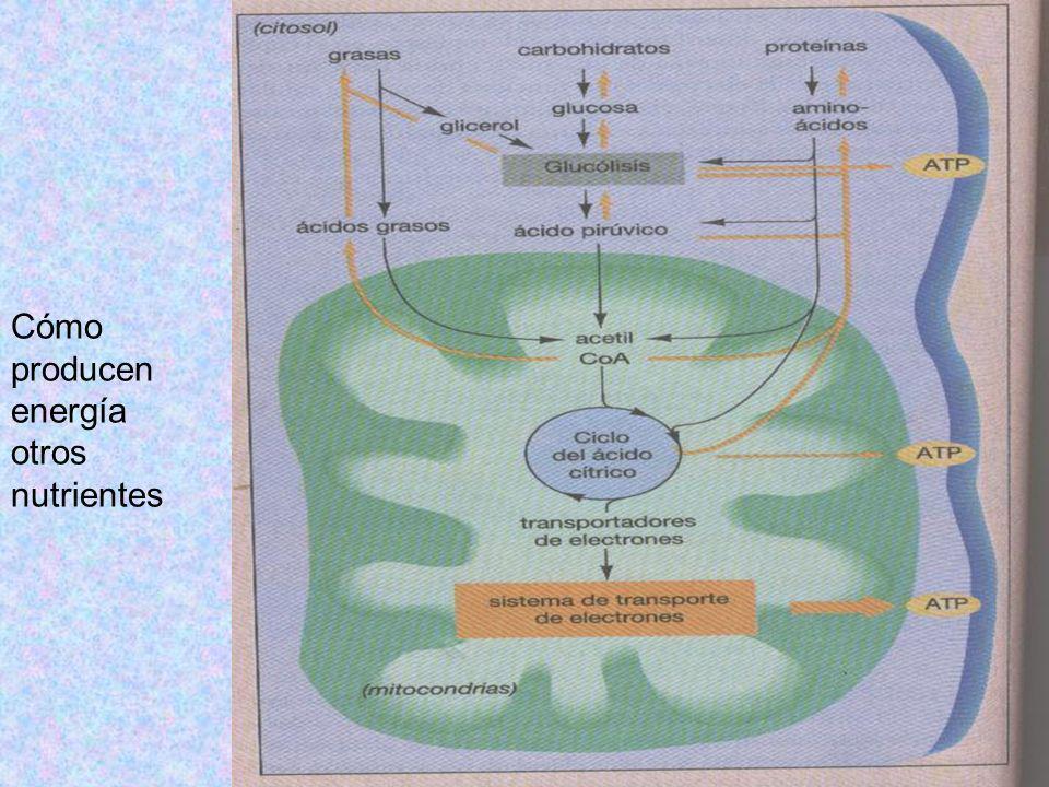 Cómo producen energía otros nutrientes