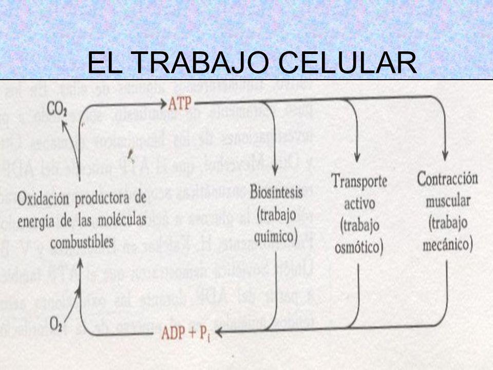 EL TRABAJO CELULAR