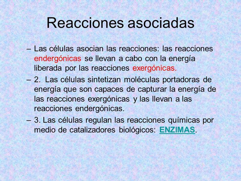 Reacciones asociadas –Las células asocian las reacciones: las reacciones endergónicas se llevan a cabo con la energía liberada por las reacciones exer