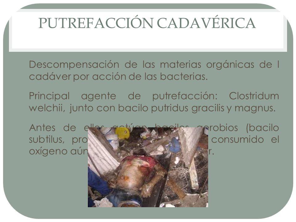 PUTREFACCIÓN CADAVÉRICA Descompensación de las materias orgánicas de l cadáver por acción de las bacterias. Principal agente de putrefacción: Clostrid