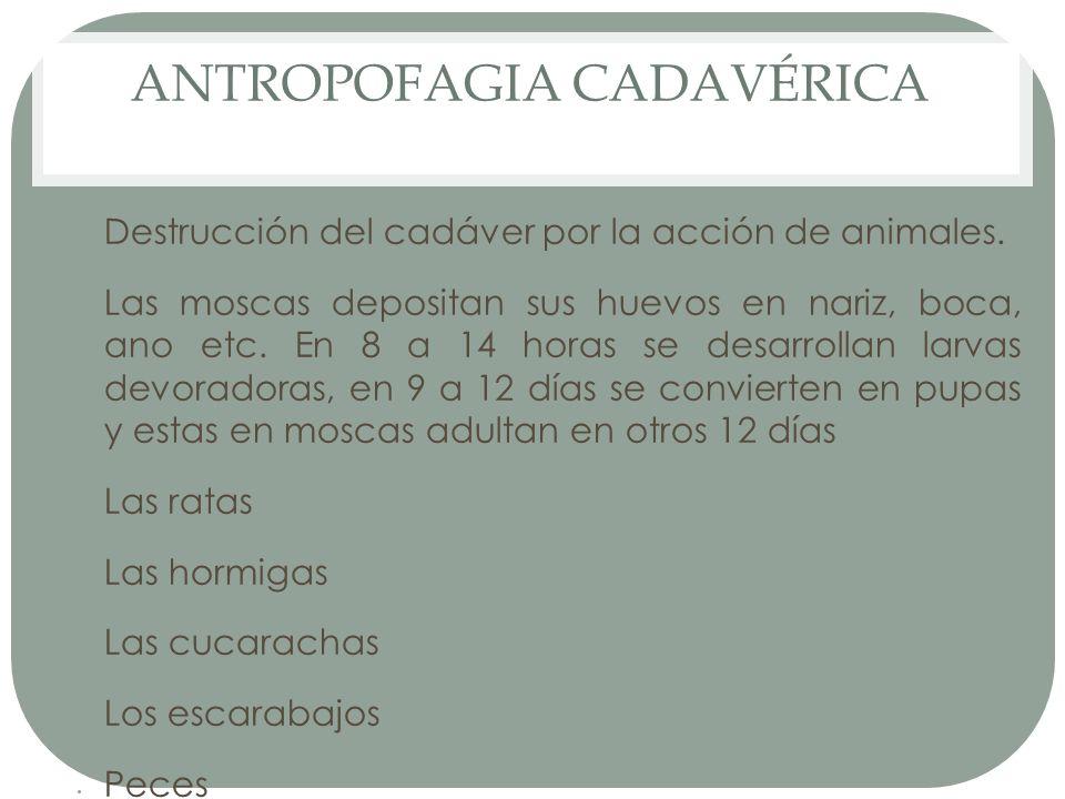 ANTROPOFAGIA CADAVÉRICA Destrucción del cadáver por la acción de animales. Las moscas depositan sus huevos en nariz, boca, ano etc. En 8 a 14 horas se