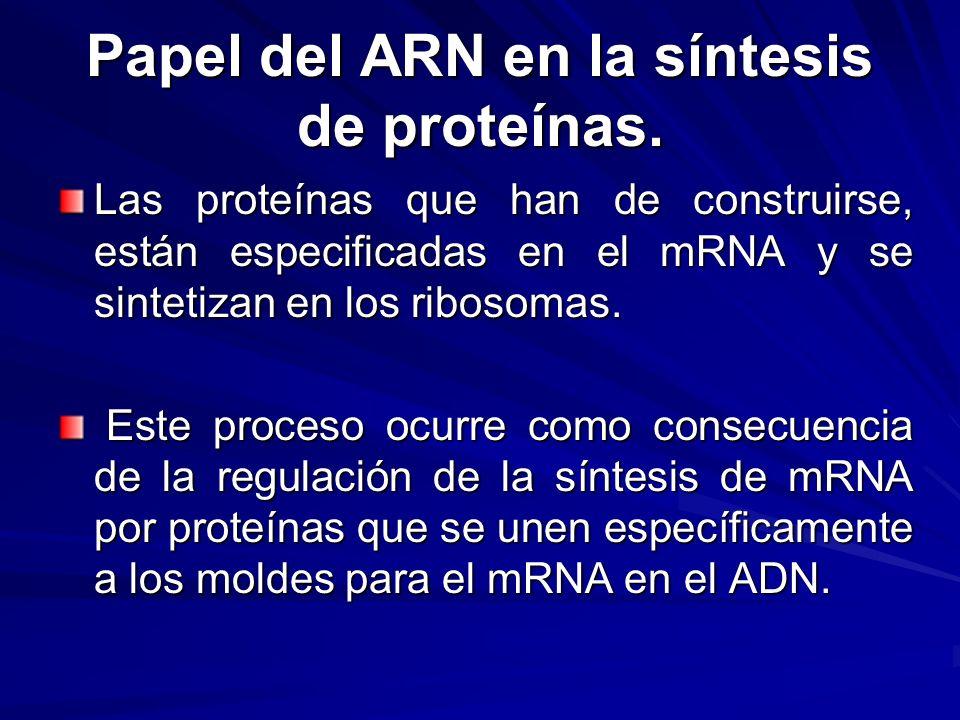 Papel del ARN en la síntesis de proteínas. Las proteínas que han de construirse, están especificadas en el mRNA y se sintetizan en los ribosomas. Este