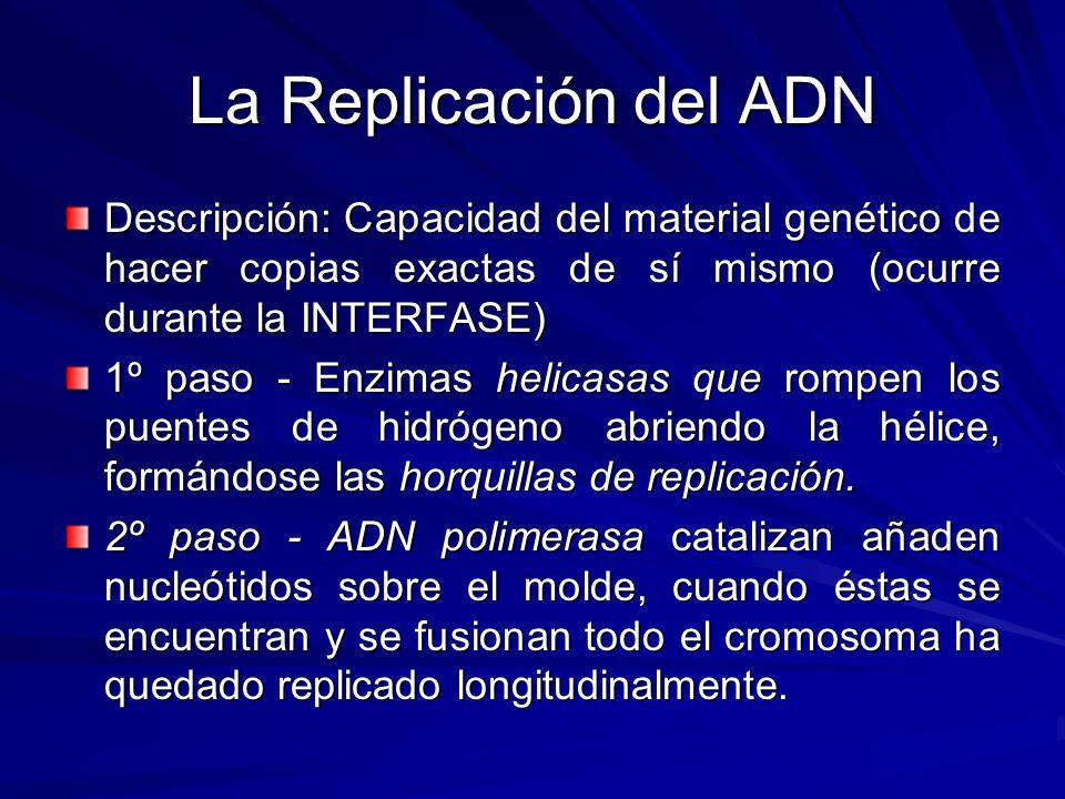 La Replicación del ADN Descripción: Capacidad del material genético de hacer copias exactas de sí mismo (ocurre durante la INTERFASE) 1º paso - Enzima