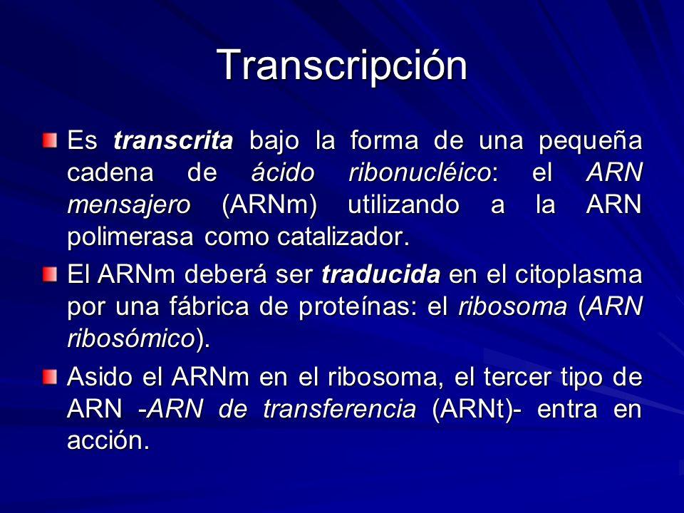 Transcripción Es transcrita bajo la forma de una pequeña cadena de ácido ribonucléico: el ARN mensajero (ARNm) utilizando a la ARN polimerasa como cat
