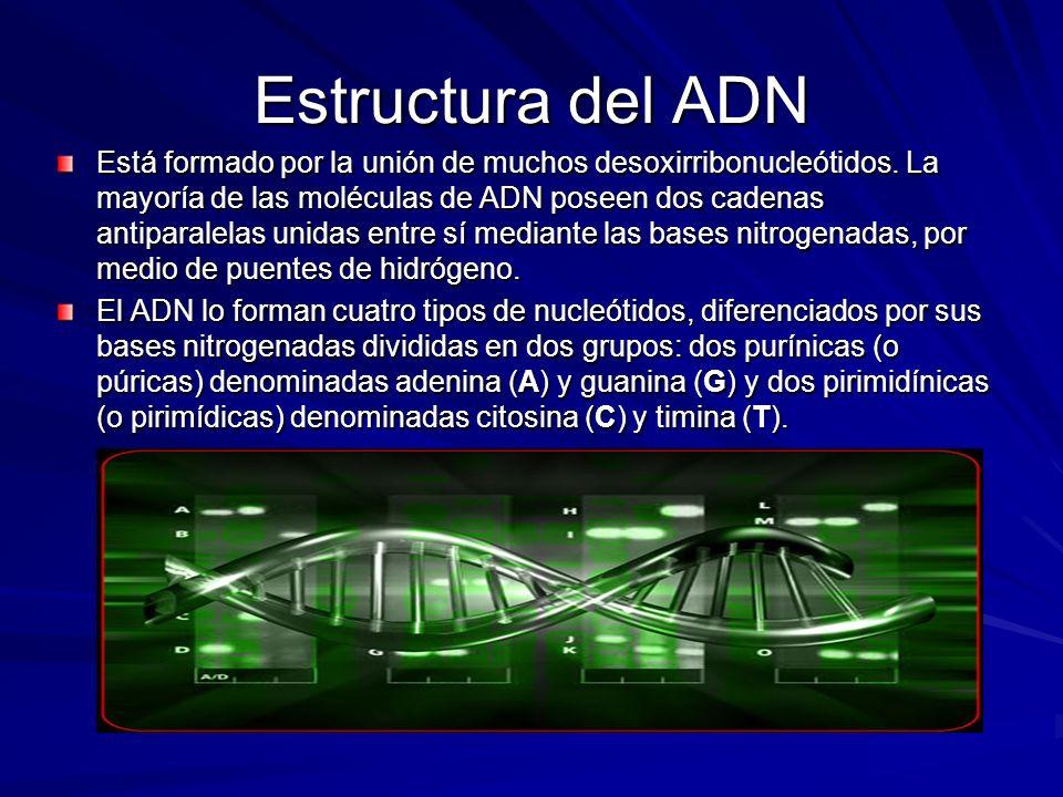 Estructura del ADN Está formado por la unión de muchos desoxirribonucleótidos. La mayoría de las moléculas de ADN poseen dos cadenas antiparalelas uni