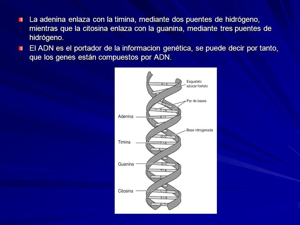 La adenina enlaza con la timina, mediante dos puentes de hidrógeno, mientras que la citosina enlaza con la guanina, mediante tres puentes de hidrógeno