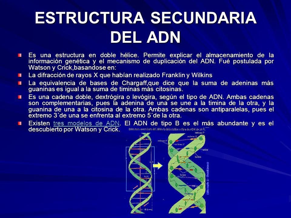 ESTRUCTURA SECUNDARIA DEL ADN Es una estructura en doble hélice. Permite explicar el almacenamiento de la información genética y el mecanismo de dupli