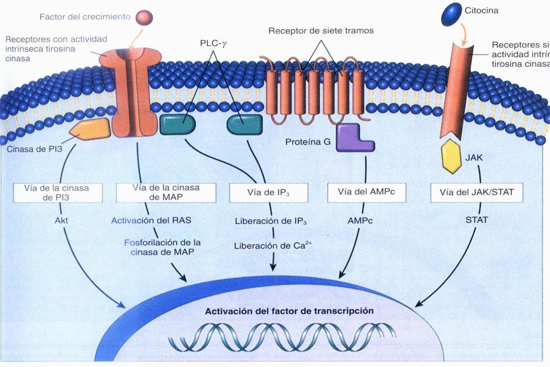 21 Acoplados a Proteínas G. Canales Iónicos Membranales Intracelulares. Hormonas Lipofílicas. Tirosin - quinasa Actividad Enzimática Intrínseca. Juan