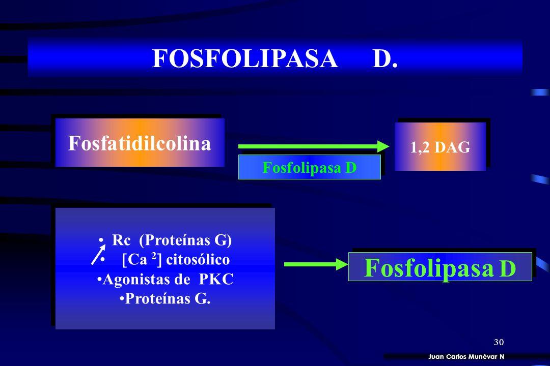 29 FOSFOLIPÍDOS DE INOSITOL. 4 Formas enzimáticas,,, Fosfolipasa C Fosfatidilinositol 4,5 bisfosfato. 1,2 DAG IP 3 Juan Carlos Munévar N