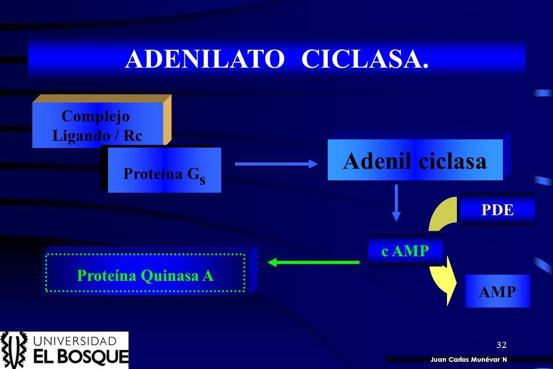31 ADENILATO CICLASA. Complejo Ligando / Rc Proteína G s Adenil ciclasa ATP c AMP Juan Carlos Munévar N