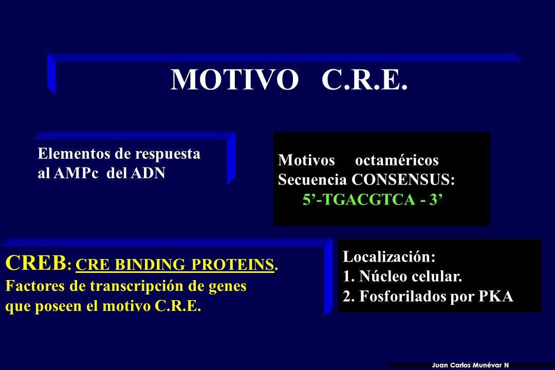 GENES CON MOTIVO C.R.E. 1. Enzimas metabolismo intermedio 2. Péptidos Bioactivos. 3. Fibronectina plasmática. 4. Proto oncogen c-fos 1. Tiroxina hidro