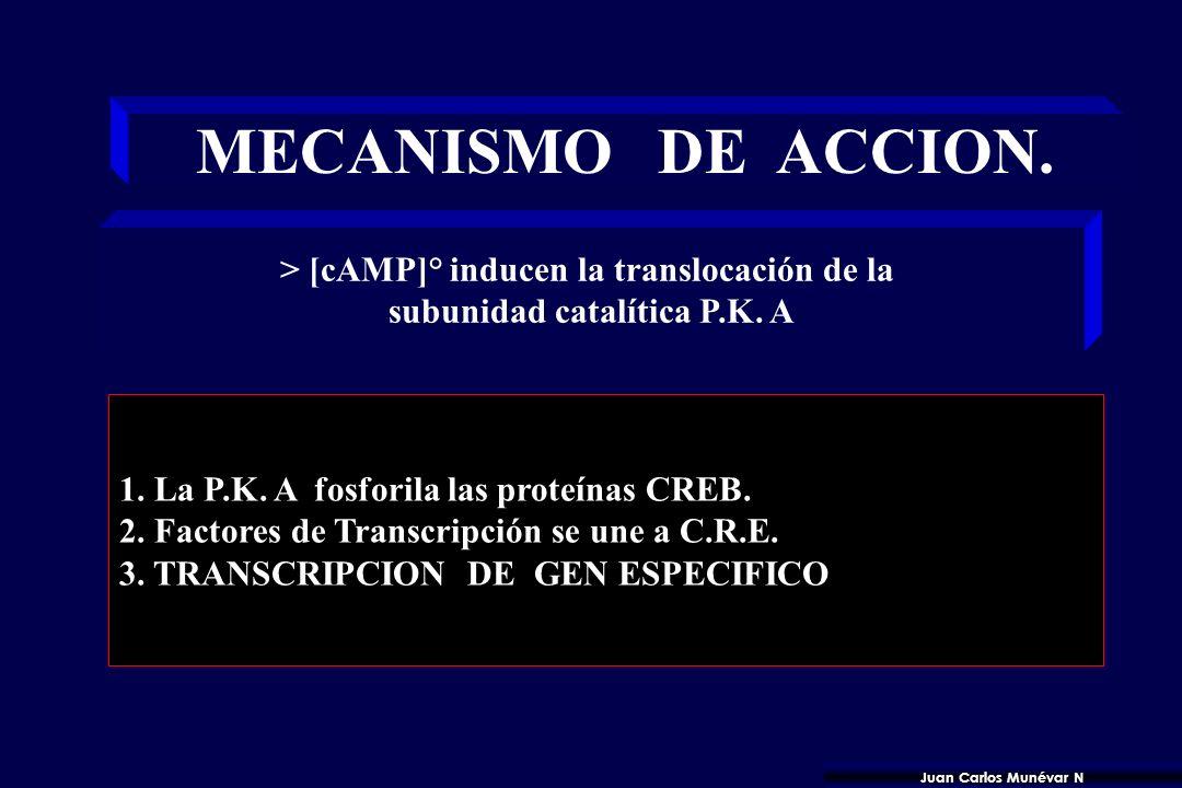 MOTIVO C.R.E. Motivos octaméricos Secuencia CONSENSUS: 5-TGACGTCA - 3 Elementos de respuesta al AMPc del ADN CREB : CRE BINDING PROTEINS. Factores de