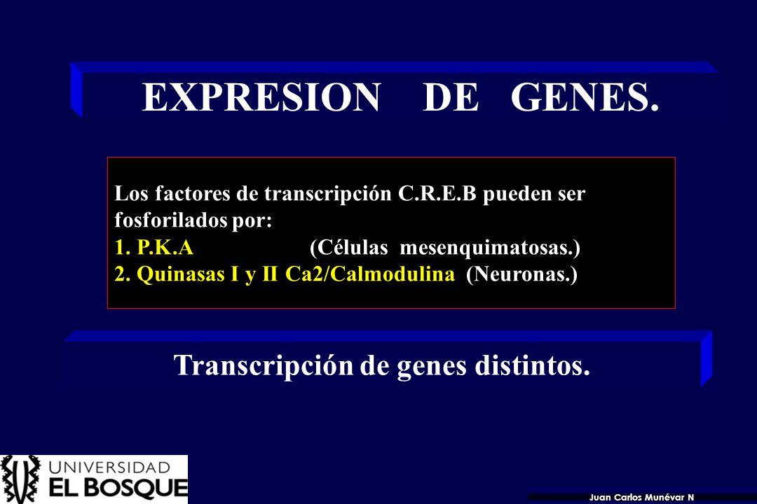 MECANISMO DE ACCION. 1. La P.K. A fosforila las proteínas CREB. 2. Factores de Transcripción se une a C.R.E. 3. TRANSCRIPCION DE GEN ESPECIFICO > [cAM