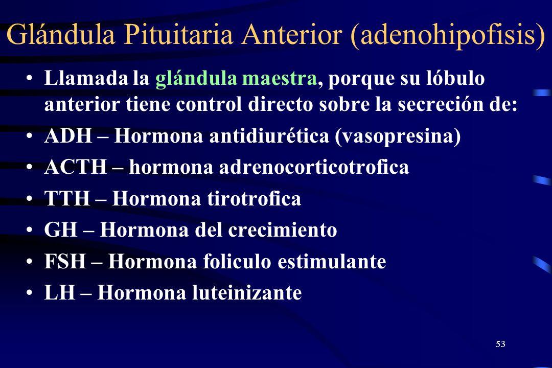 52 La Glándula Pituitaria La glándula Pituitaria localizada en la base del craneo en la silla turca del hueso esfenoides. Unida con el hipotalamo por