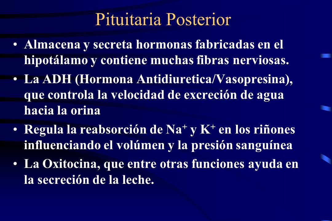 53 Glándula Pituitaria Anterior (adenohipofisis) Llamada la glándula maestra, porque su lóbulo anterior tiene control directo sobre la secreción de: A
