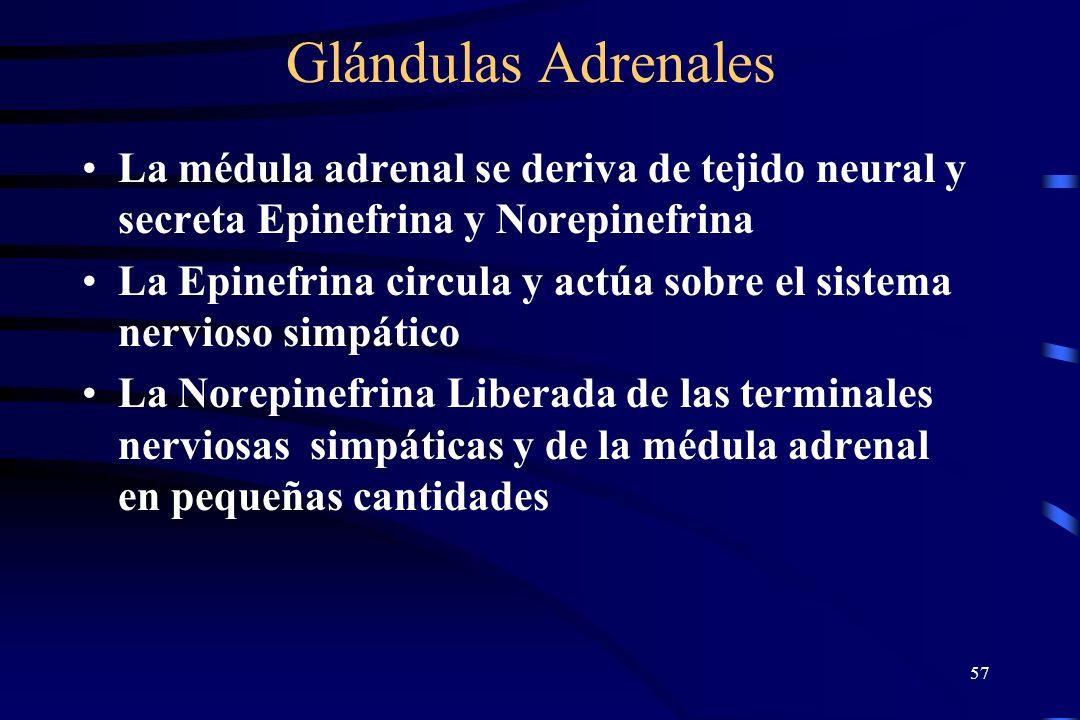 56 Glándulas Adrenales ACTH – Hormona Adrenocorticotrofica que estimula a la corteza adrenal liberando 3 tipos de hormonas: Glucocorticoides, Mineralo