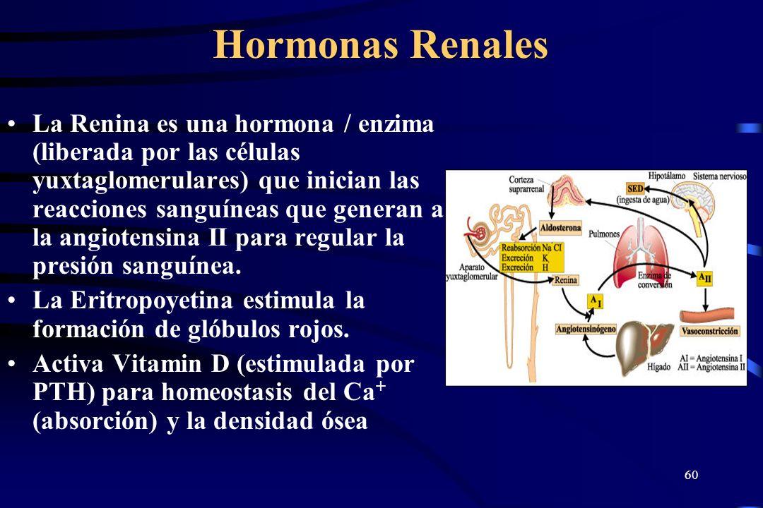 59 Esteroides Adrenales Testosterona – afecta la masculinización, aumenta la masa corporal. Estrogenos - estradiol, estrona, estriol - estimulan desar