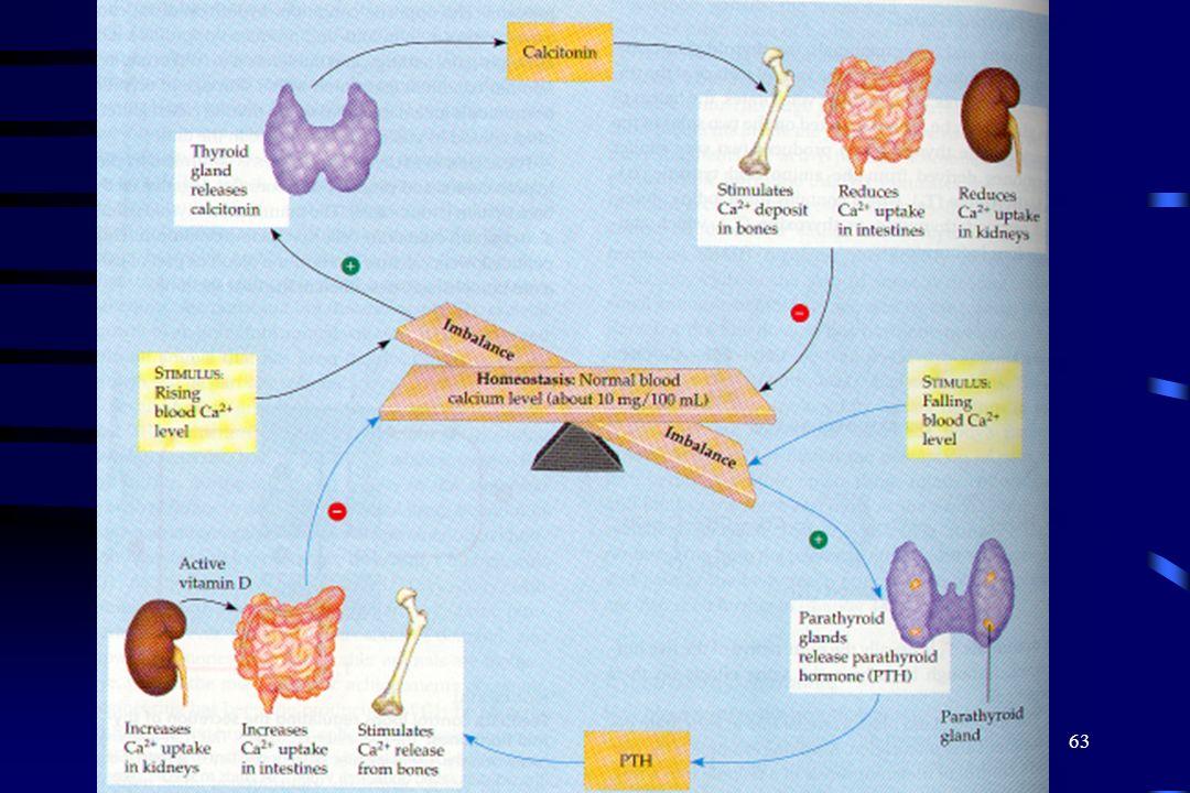 62 Glándulas Paratiroides Las glándulas paratiroides localizadas detras de la tiroides. Las Paratiroides son importantes en metabolismo del calcio y d