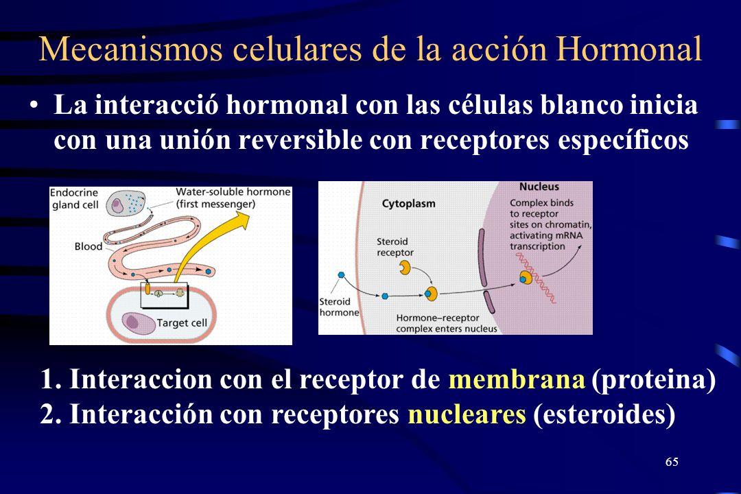 64 Pancreas Una glándula endocrina, que secreta las hormonas insulina y glucagón. Como glándula exocrina, produce enzimas digestivas. Secreta insulina