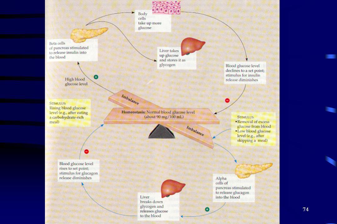 73 Control del azúcar en la sangre La Insulina y glucagon son producidas por grupos celulares en el páncreas (isletas de Langerhans). Las células Beta