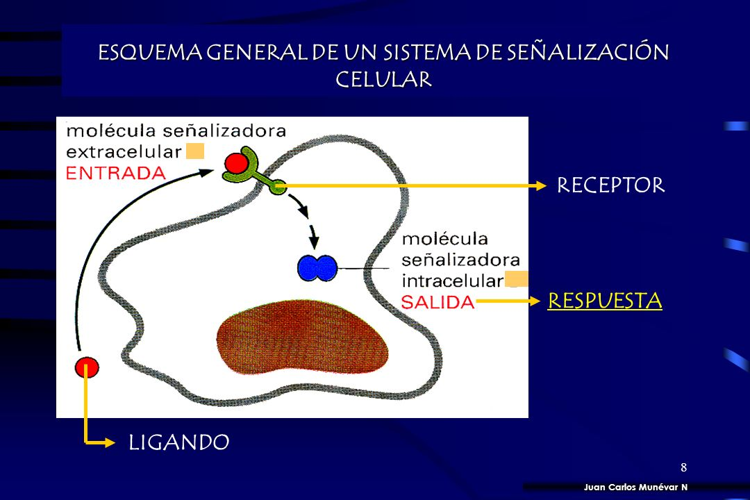 7 TRANSCRIPCION DE GENES TRANSCRIPCION DE GENES ESTIMULO / RESPUESTA CELULAR ESTIMULO / RESPUESTA CELULAR