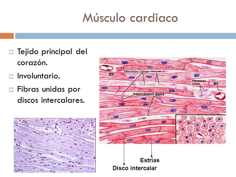 Músculo cardiaco Tejido principal del corazón. Involuntario. Fibras unidas por discos intercalares. Estrías Disco intercalar